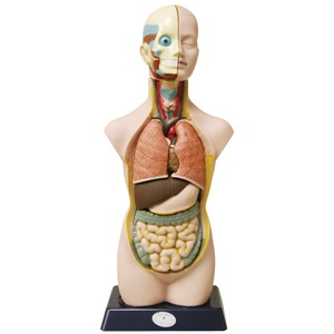 Anatomical Torso Elenco EDU-41007