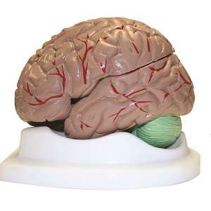 B10401 Brain Model 8 pieces Walter
