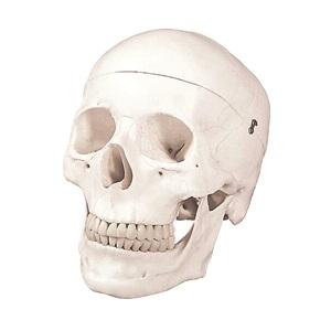 Human Skull B10207A Walter